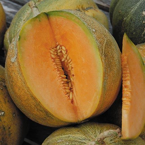 Melon, Petit Gris De Rennes