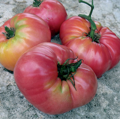 Tomato, Kolb
