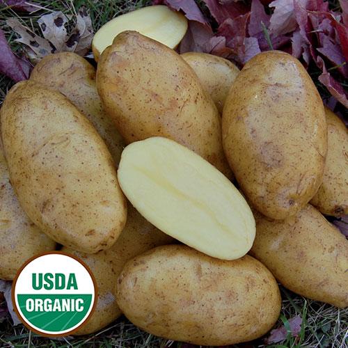 Potato, Nicola