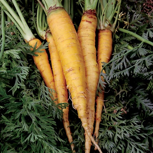Carrot, Jaune du Doubs