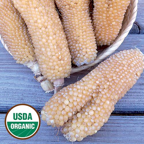 Corn, Bear Paw