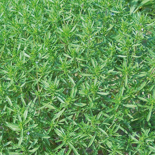 Herb, Summer Savory