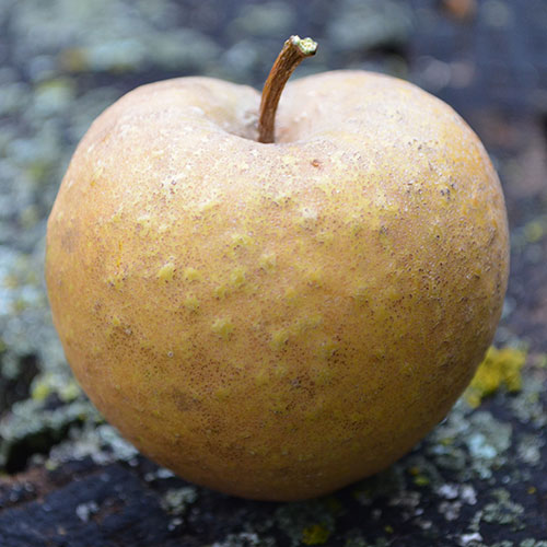 Apple Tree, Fall Russet