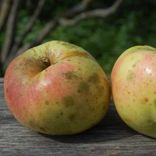 Calville Blanc de Hiver Apple Tree