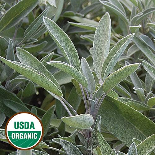 Transplant, Herb-Green Culinary Sag