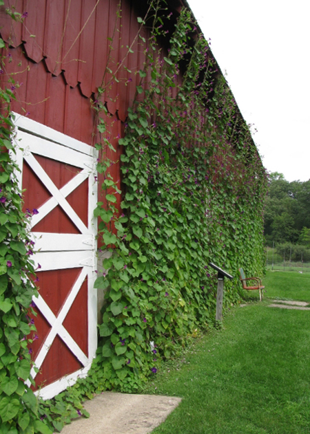 morning glories on twine trellis